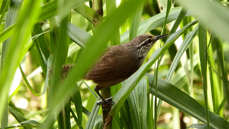 The Singing Wrens of Costa Rica