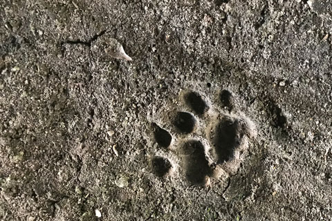 Track of a Florida Panther