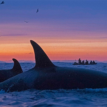 Orcas swim at sunset off the coast of Tromso, Norway, a gateway to the high Arctic Circle.