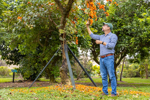 Associate professor Mauro Galetti checks on the blooms from a Flame of the Forest tree in the Gifford Arboretum. Native to southeast India, Sri Lanka, and Myanmar -- the tree was propped up from the high winds during Hurricane Irma in 2017, but was flowering recently