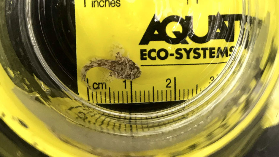 Gulf toadfish were recently born in labs at the Rosenstiel School.