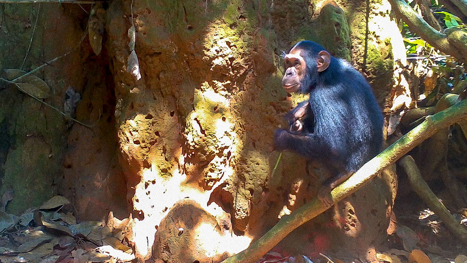 Chimp and termite study