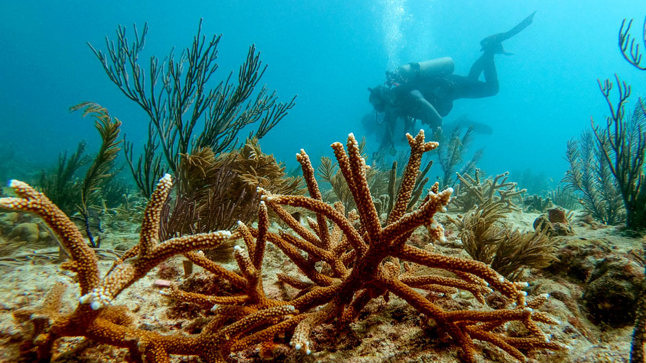 Professors from the Rosenstiel School of Marine and Atmospheric Science are working to revive the Florida Reef Tract in the face of climate change.