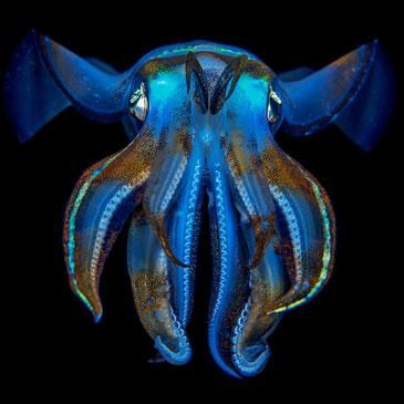 A bigfin reef squid (Sepioteuthis lessoniana), photographed in Raja Ampat, Indonesia