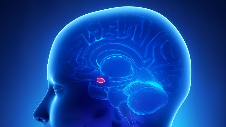 Image shows amygdala in the brain.