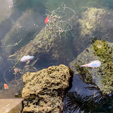 Dead fish seen floating in the waters of North Biscayne Bay. Photo courtesy Miami Waterkeeper