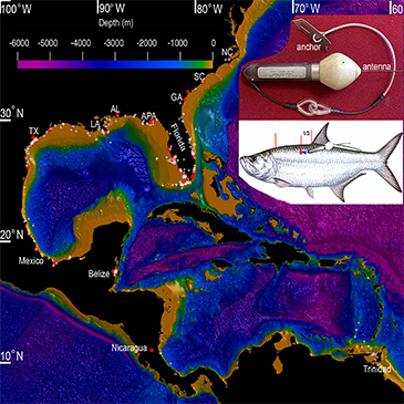 New study reveals international movements of Atlantic Tarpon, need for protection