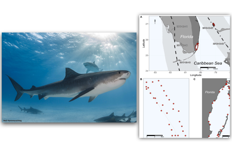 New study tracked large sharks during hurricanes